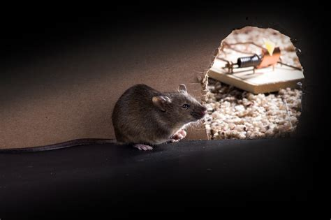What Smell Do Rats Hate? (Oct