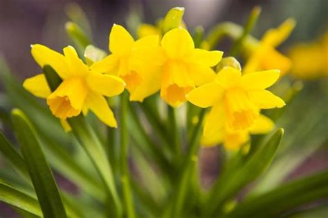 14 Facts Every Daffodil Devotee Should Know - Daffodil Facts