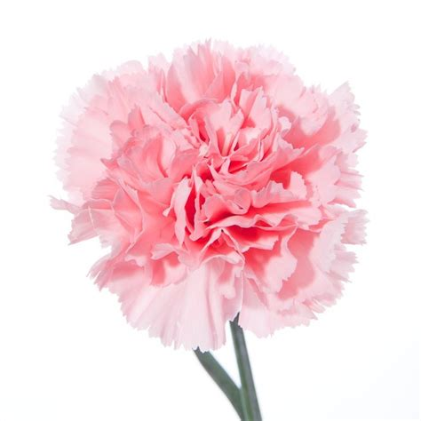17 Best images about Carnations on Pinterest   Strength