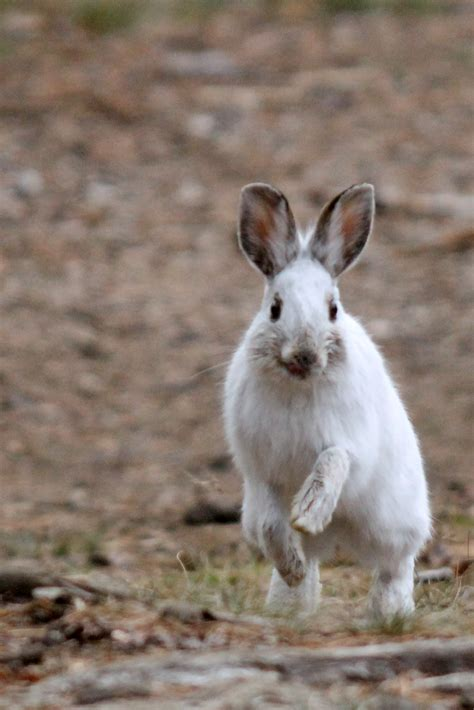 Snowshoe Hare | MyNature Apps