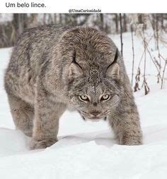 397 Best Bobcats & Lynx images in 2019 | Lynx, Animals