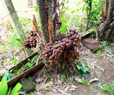 Postcards From Malaysia: Salak The Snake Fruit