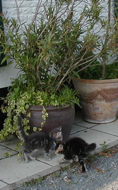 Maine Coon Chatons Arielle 2012