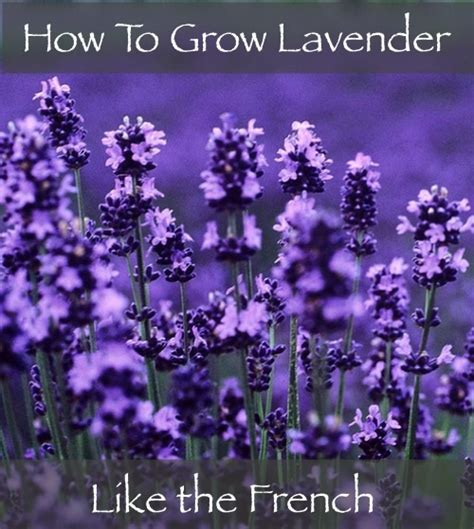 How To Grow Lavender Like The French - Homestead & Survival