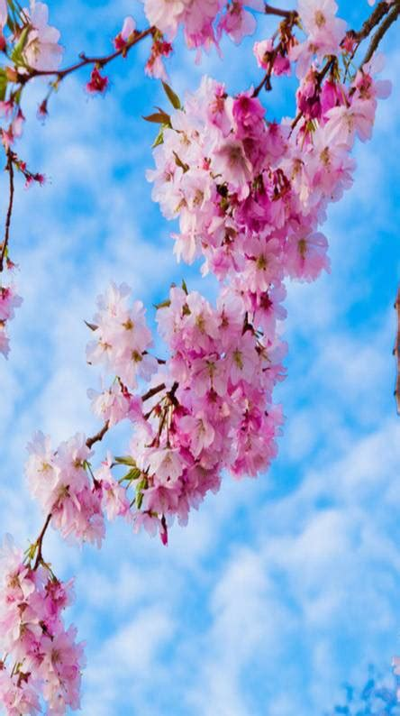 Cherry blossom Wallpapers - Free by ZEDGE™