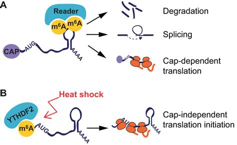 Post-transcriptional modifications in development and stem